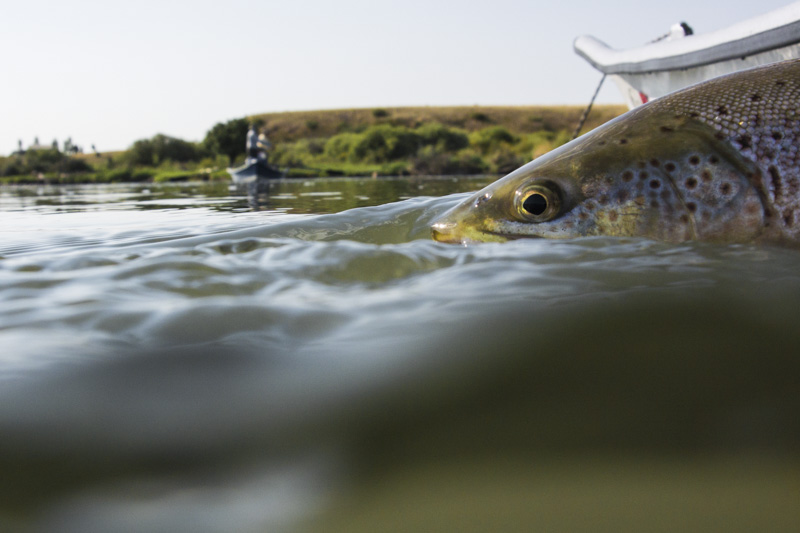 Fly fishing the Yellowstone River in Paradise Valley with Fins & Feathers fly fishing guide service .