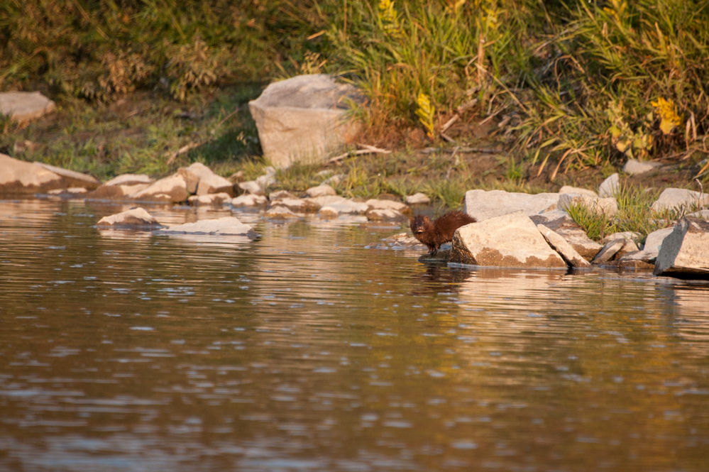 Mink sighting on a Montana small stream with Fins & Feathers of Bozeman fly fishing guide service and Montana fly fishing outfitter.