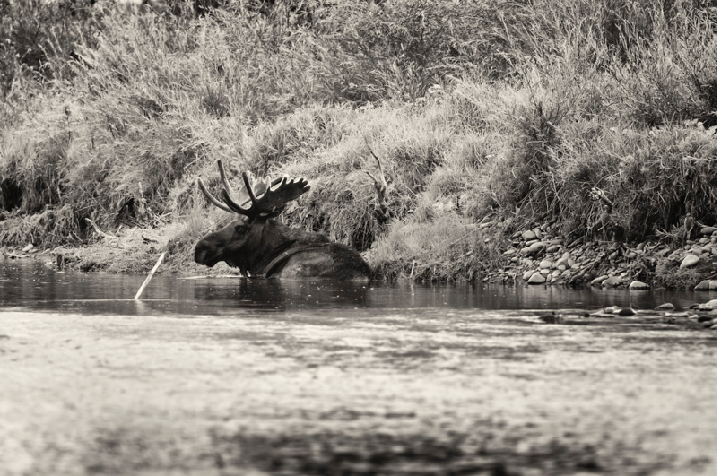 Jefferson River guided fly fishing trips usually go with a Moose sighting on the water!